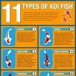 11 different types of Koi fish Varieties-infographic-plaza