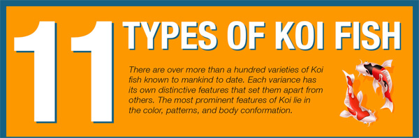 11 different types of Koi fish Varieties-infographic-plaza-thumb