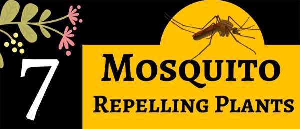 Plants-that-repel-mosquitoes-infographic-plaza-thumb