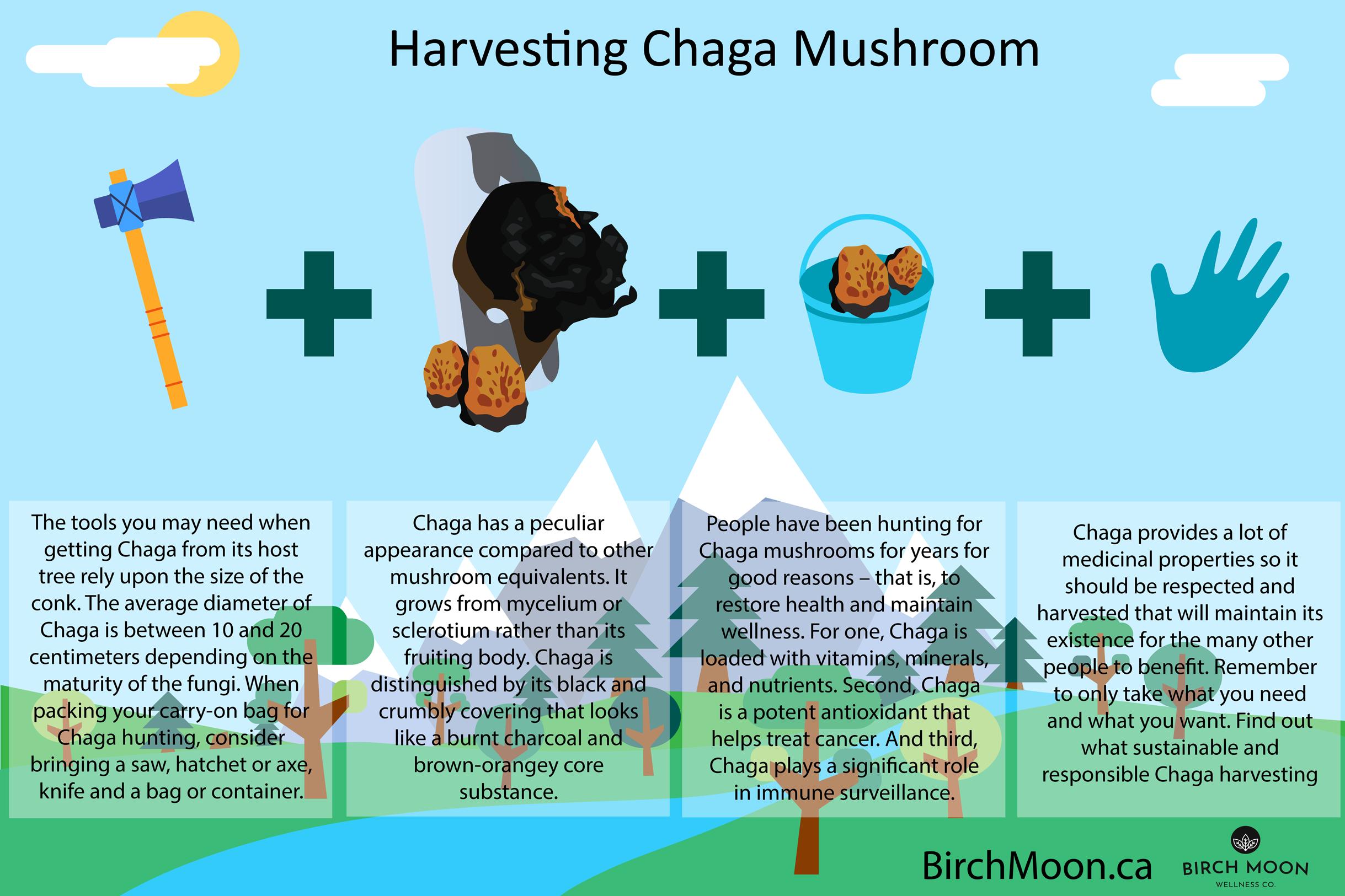 harvesting-chaga-mushroom-infographic-plaza