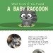 what-to-do-if-you-found-a-baby-raccoon-infographic-plaza
