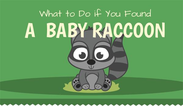what-to-do-if-you-found-a-baby-raccoon-infographic-plaza-thumb