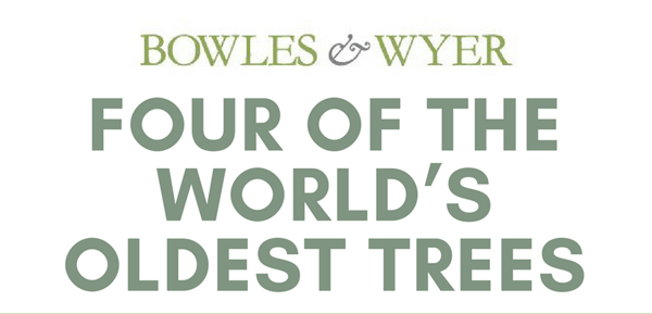 world-oldest-trees-infographic-plaza-thumb